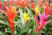 美しい: マルチカラー パイナップル マグニフィカ花 — ストック写真