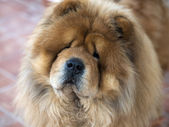 Portrait of Chow Chow — Stock Photo