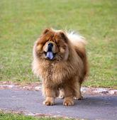 Portrait of Chow Chow dog — Stock Photo