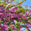 Постер, плакат: Red flowers of judas tree