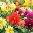 Stock Photo: Bright different colored flowers of dahlia