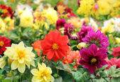 Bright different colored flowers of dahlia — Stock Photo
