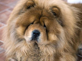 Portrait of chow chow dog — Stock Photo