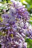 Blooming purple wisteria — Stock Photo
