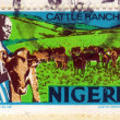 Cattle ranching in nigeria — Stock Photo