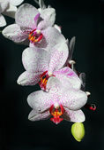White orchids with burgundy spots — Stock Photo