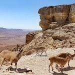 ������, ������: Herd of mountain goats