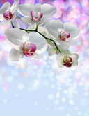 White orchid on a blurred background — Stock Photo