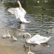 Family of white swans with fledglings — Stock Photo