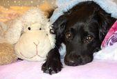 портрет собаки с грустными глазами — Стоковое фото