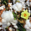 Cotton fields with ripe white cotton — Stock Photo