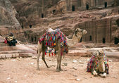 Two decorated camels, Petra in Jordan — Stock Photo