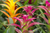 Colored bromeliads flowers — Stock Photo