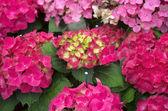 Hortensia rouge vif — Photo