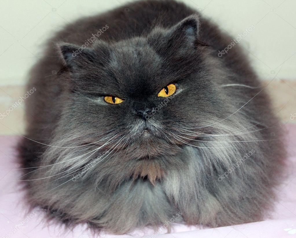 Gray Persian Cats Smoky gray persian cat - stock