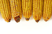 Field Corn — Stock Photo