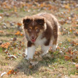 Stock Photo of Australian Shepherd Puppy — Stock Photo