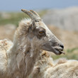 Big Horn Sheep — Stock Photo