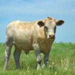 Kansas Cow — Stock Photo