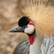 Stock Photo: Crested Crane