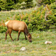 Stock Photo: Elk Grazing