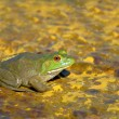 Royalty-Free Stock Photo: Bullfrog
