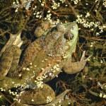 Bull Frog — Stock Photo