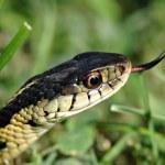 Garter Snake — Stock Photo #19640867
