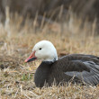 Snow Goose — Stock Photo