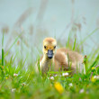 Baby Gosling — Stock Photo #19640979