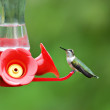 Hummingbird — Stock Photo