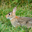 Watchful Rabbit — Stock Photo