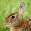 Stock Photo: Watchful Rabbit