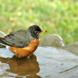 Robin Taking Bath — Stock Photo