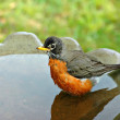 Robin in Birdbath — Stock Photo #19641191