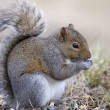Grey Squirrel Eating Corn — Stock Photo