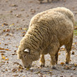 Stock Photo: Sheep Feeding