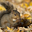Stock Photo: Squirrel Eating Sunflower Seed