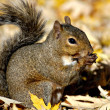 Stock Photo: Alert Grey Squirrel