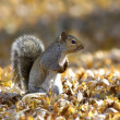 Squirrel in Autumn — Stock Photo