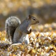 Squirrel in Autumn - Stock Photo