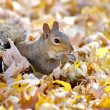 Grey Squirrel in Autumn Leaves - Stock Photo