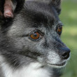 Watchful Chihuahua — Stockfoto #19641385