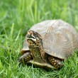 Stock Photo: Box Turtle in Grass