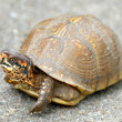 Stock Photo: Box Turtle