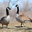 Canada Geese Pair — Stock Photo #19641459