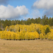 Stock Photo: Autumn Aspens