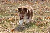 Stock Photo of Australian Shepherd Puppy — Stock Photo
