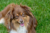 Miniature Australian Shepherd — Stock Photo
