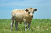 Kansas Cow — Stock Photo